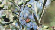 olivos-poda