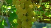 uva-blanca-chardonnay